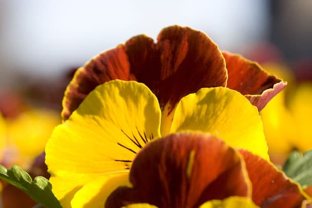 Best Time To Plant Some Pansies